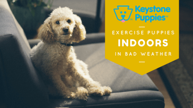 How to Exercise Your Puppy Indoors