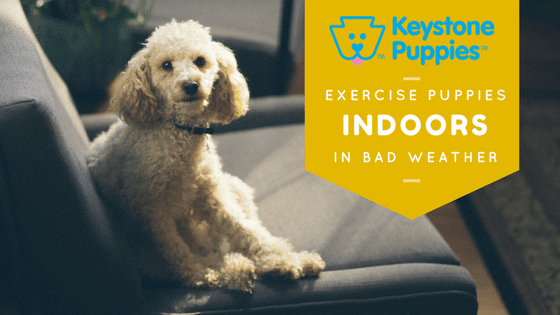 Exercise Indoors Poodle Keystone Puppies Pennsylvania