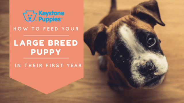 How Should You Feed Your Large Breed Pup?