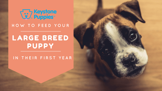 Feed Large Breed Dogs Boxer Keystone Puppies Pennsylvania