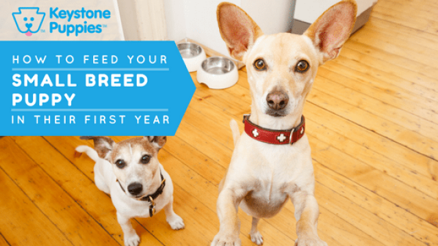 How Should You Feed Your Small-Breed Pup?