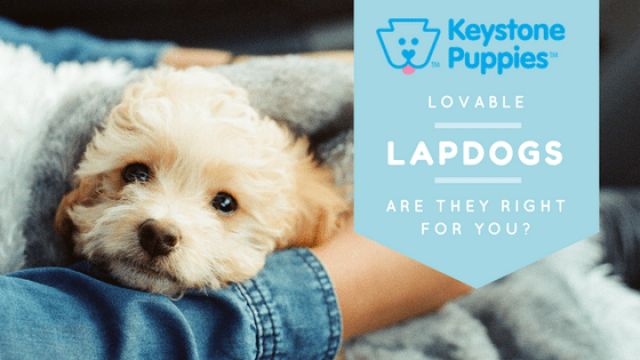 Lovable Lapdogs: Are They Right for You?