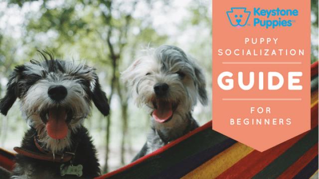 Puppy Socialization: A Beginner's Guide