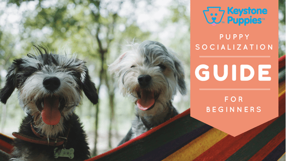 Schnauzer Puppies How to Socialize Your Pup