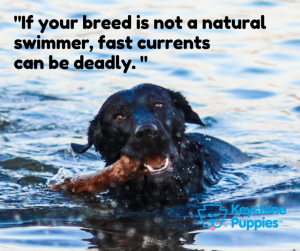 Black-Labrador-swimming-in-Lake-with-Current