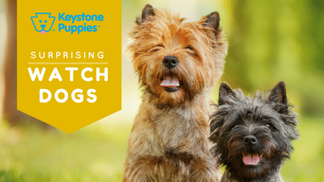 Surprise! These Breeds Make Great Watchdogs.