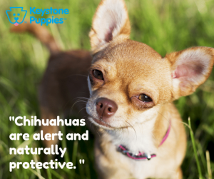 Chihuahuas are very small and don't need much exercise.