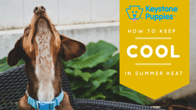 Cool Dogs: How to Avoid Heat Exhaustion This Summer
