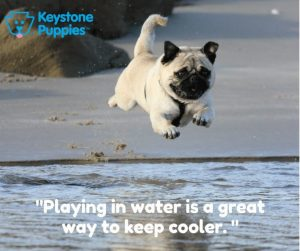 pug-water-play-puppies-for-sale-Pennsylvania-PA