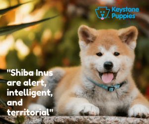 Shiba-Inu-Puppies-for-sale-Pa-Pennsylvania-Puppy