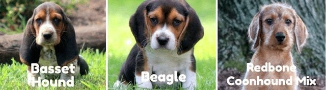 basset-beagle-redbone-coonhound-puppies-for-sale-PA