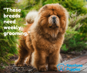 Chow-Chow-puppy-grooming-puppies-for-sale-Pennsylvania