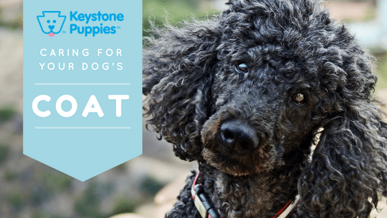 Standard-Poodle-coat-care-puppies-for-sale-PA