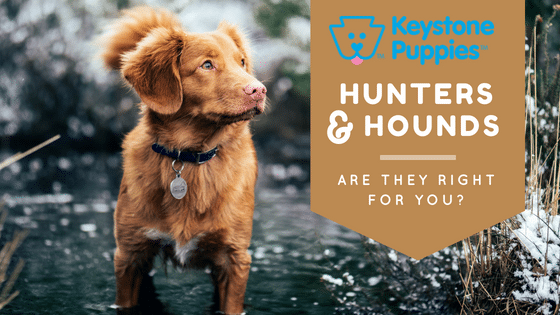 hunters-hounds-breeds-dogs-puppies-for-sale-PA-Pennsylvania