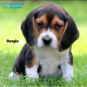 beagle-keystone-puppies-puppies-for-sale-pennsylvania
