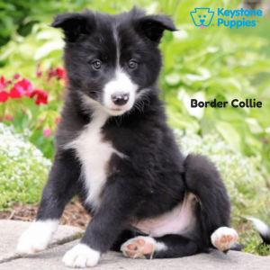 border-collie-keystone-puppies-puppies-for-sale-pennsylvania
