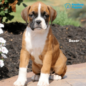 boxer-keystone-puppies-puppies-for-sale-pennsylvania