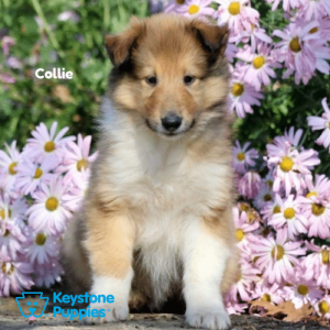 collie-keystone-puppies-puppies-for-sale-pennsylvania