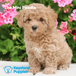 mini-poodle-puppy-for-sale-PA-Pennsylvania