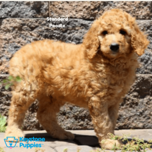 standard-poodle-healthy-responsibly-bred-Pennsylvania
