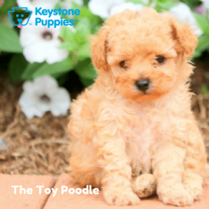toy-poodle-Keystone-Puppies-Puppies-for-sale-Pennsylvania