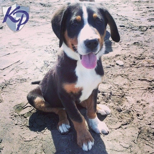 Read Our Reviews Keystone Puppies Testimonials