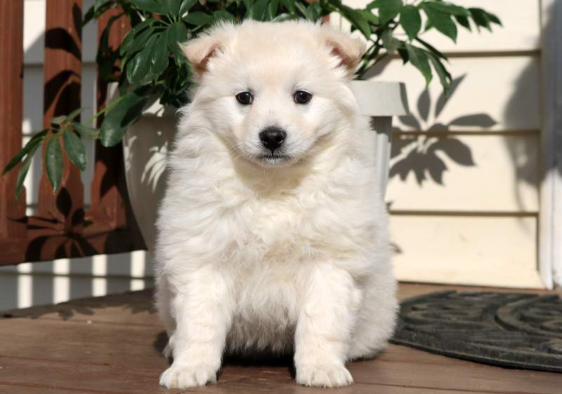 American Eskimo Puppies For