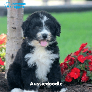 Aussiedoodle-Dog-healthy-responsibly-bred-Pennsylvania