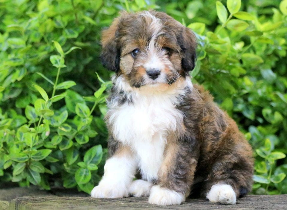Australian Shepherd Mix Puppies For Sale Puppy Adoption