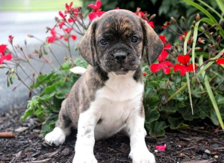 Beabull Puppies For Sale | Puppy Adoption | Keystone Puppies