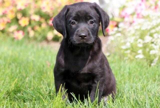 Black-Lab-Category-e1519318452583.jpg