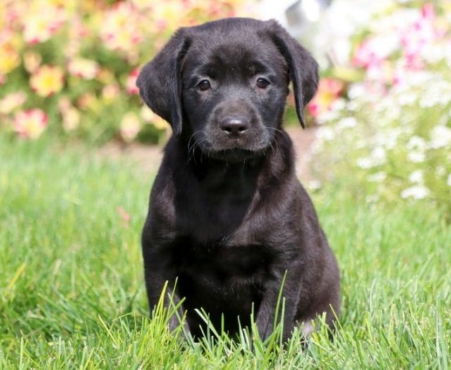 Labrador Retriever - Black