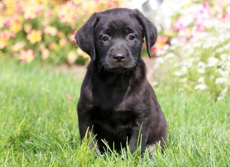 Labrador Retriever - Black Puppies For Sale | Puppy Adoption