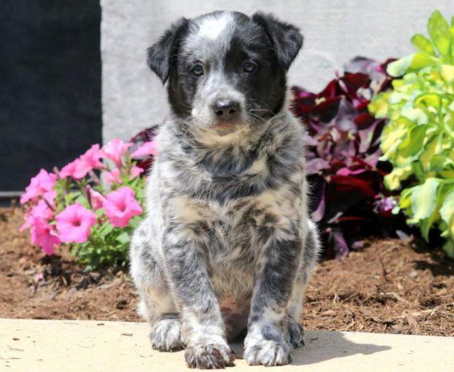 Australian Shepherd - Mini Puppies For Sale | Puppy Adoption