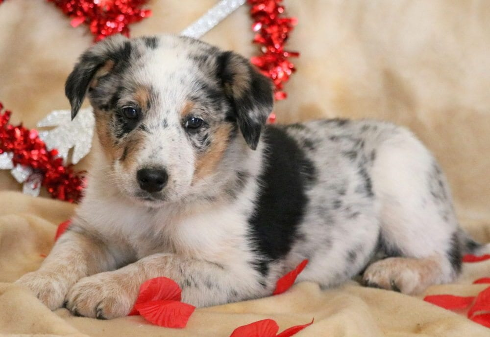 Australian Cattle Dog Mix Puppies For