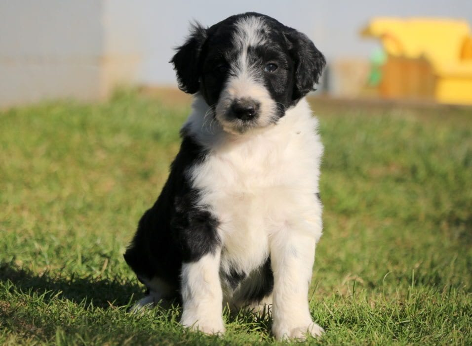 Bordoodle Puppies For Sale | Puppy Adoption | Keystone Puppies