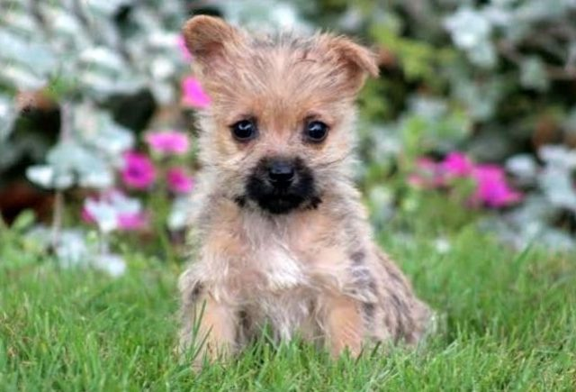 Cairn-Terrier-Category.jpg