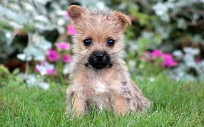 Cairn Terrier Puppies For Sale | Puppy Adoption | Keystone Puppies