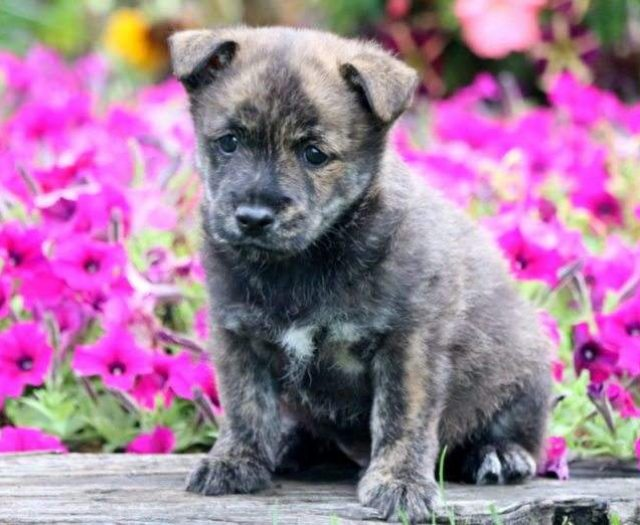 Cairn Terrier Puppies For Sale | Puppy Adoption | Keystone
