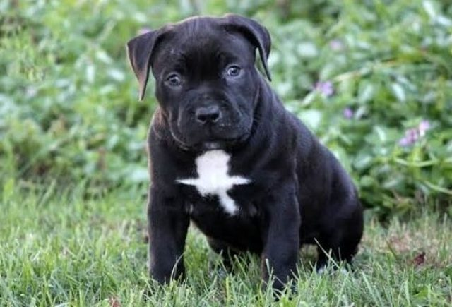 Cane Corso Mix Puppies For Sale Puppy Adoption Keystone Puppies