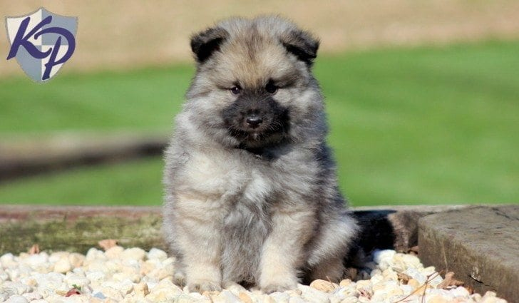 Keeshond Puppies For Sale   Puppy Adoption   Keystone Puppies