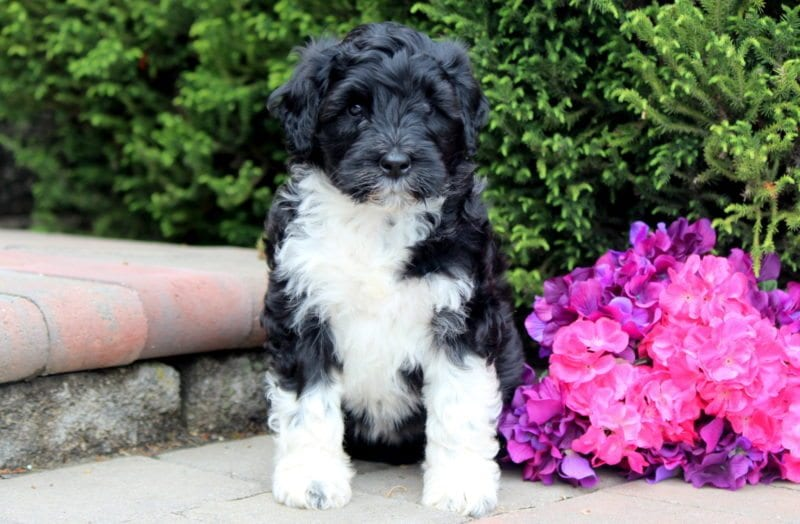 portuguese water dog breeders pa