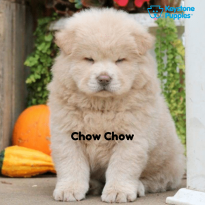 Chow-Chow-Dog-healthy-responsibly-bred-Pennsylvania