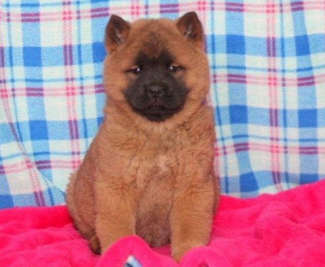 Chow Chow Mix