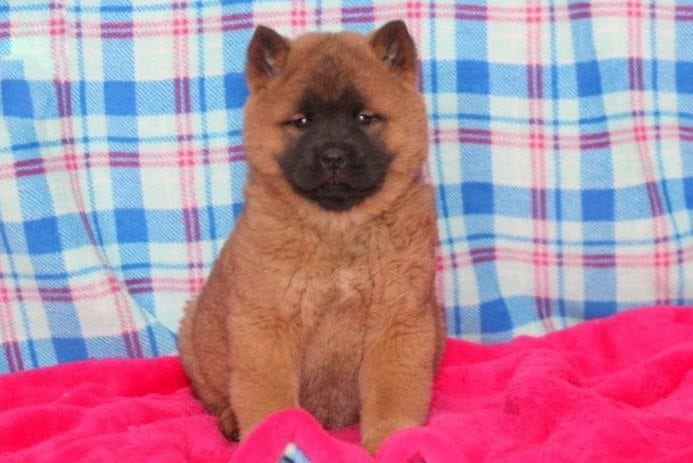 Chow Chow Mix Puppies For Sale Puppy Adoption Keystone Puppies