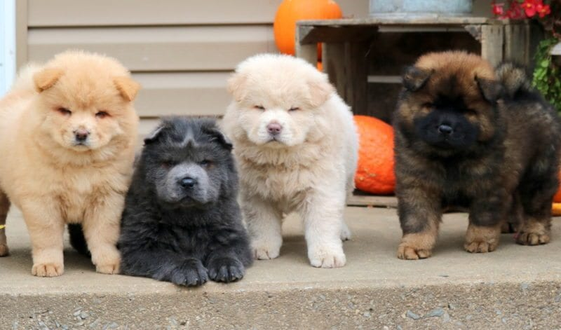 chow chow puppies for sale puppy adoption keystone puppies