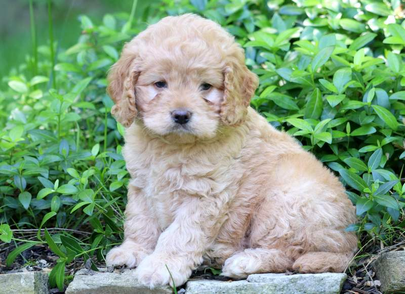 Cockapoo Puppies For Sale | Puppy Adoption | Keystone Puppies