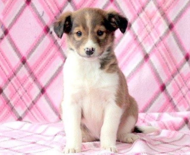 Collie Mix