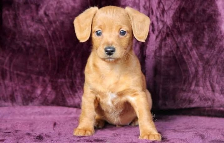 Dachshund Mix Puppies For Sale Puppy Adoption Keystone Puppies