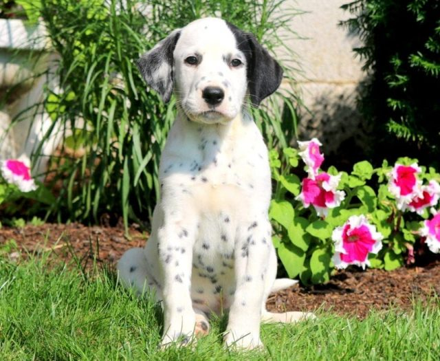 German Shorthaired Pointer Puppies For Sale Puppy Adoption